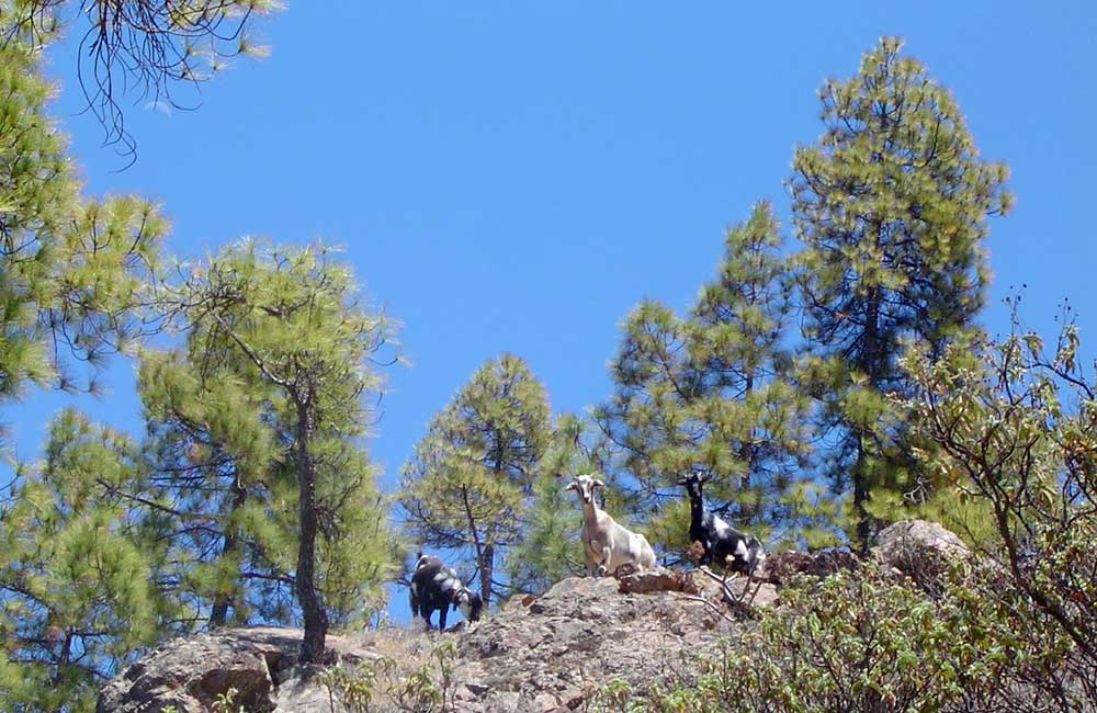 goats-in-the-inagua-forest